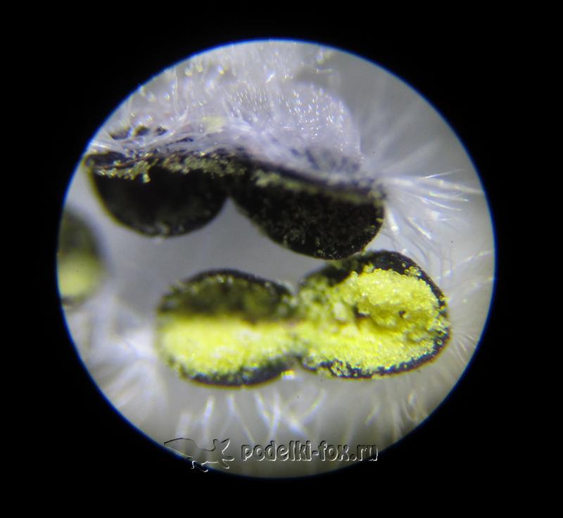 Яснотка белая под микроскопом