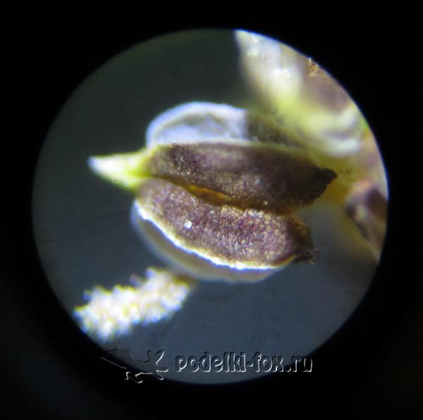 Под микроскопом. Подорожник